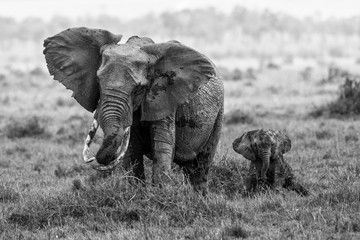 Elephant mother with a baby on the plains of the Masai Mara National Park in Kenya