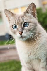 Beautiful gray homeless cat in the street