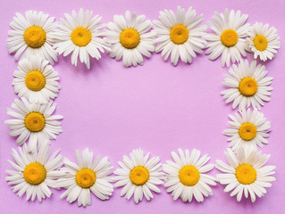 Natural herbal frame. Chamomile flowers on pink, purple paper background. Copy space, top view, violet.