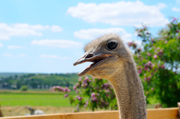 The head of an African ostrich against a scenic landscape.