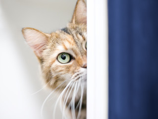 A shy tabby domestic shorthair cat peeking around a wall