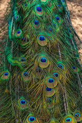 Peacock showing its extended tail feathers.peacock feathers background. Peacock Feathers Closeup
