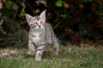 Small gray European Shorthair cat photographed while playing