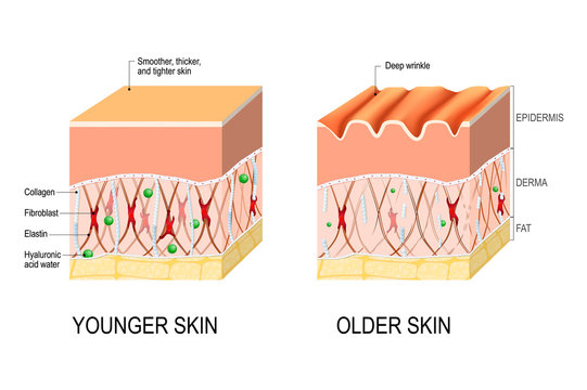 skin aging. difference between the skin of a young and elderly person