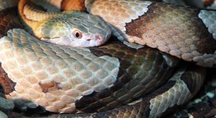 Copperhead or highland moccasin snake (Agkistrodon contortrix)