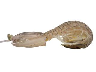Mantis shrimp body