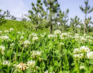 As clover lawn