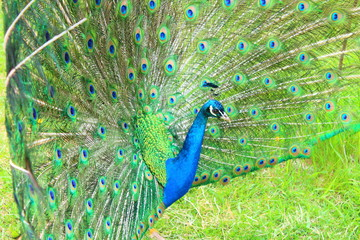 A beautiful peacock with an opening tail. Close-up. Background.