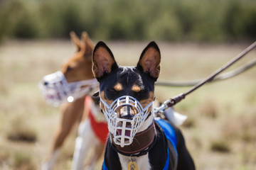 Portrait of Basenji dogs muzzled for a run. In training coursing field. Muzzle dog clothes before the start Wall mural