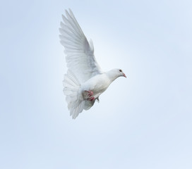 white feather homing pigeon bird flying mid air