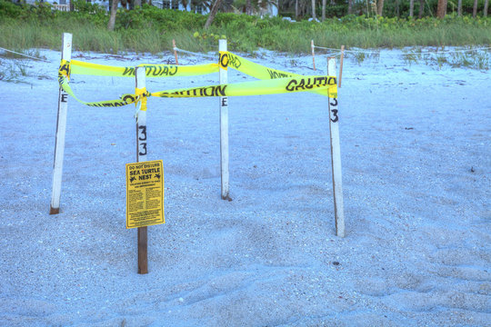 Fenced off nest of a green sea turtle Chelonia mydas on Naples Beach
