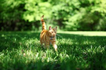 Pretty orange tabby cat walking through grass outside Wall mural