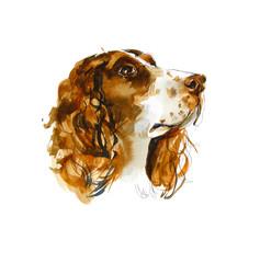 Sprinter spaniels. Portrait dog. Watercolor hand drawn illustration