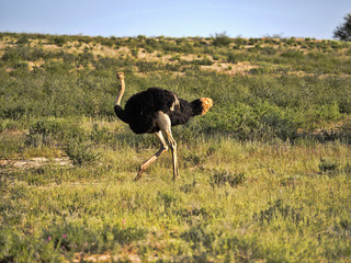 Ostrich, Struthio camelus, in the blooming desert, Kalahari, South Africa