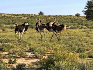 Running herd Ostrich, Struthio camelus, Kalahari, South Africa