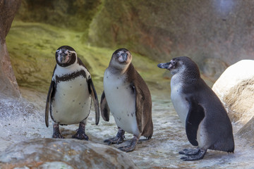 Penguins are walking in nature