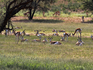 Springbok herd, Antidorcas marsupialis, pasture Kalahari, South Africa