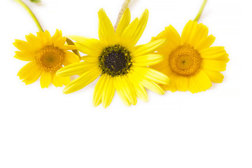 yellow daisies isolated on white