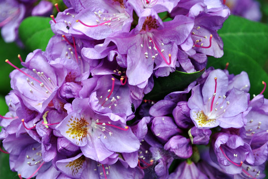 Purple rhododendron flowers with pink and yellow pistil and stamen, soft green blurry leaves background, top view close up macro detail