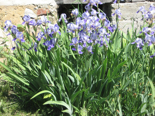 Colorful irises in the garden, perennial garden. Gardening. Bearded iris Group of blue irises in the Ukrainian Garden.