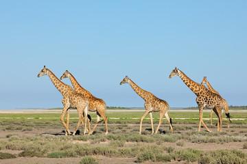 Giraffes (Giraffa camelopardalis) walking over the  plains of Etosha National Park, Namibia.