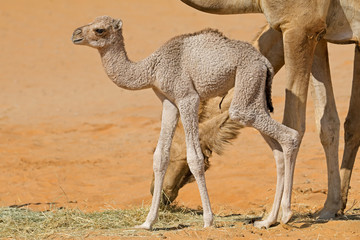 A newborn camel calf with its mother, Arabian Peninsula.