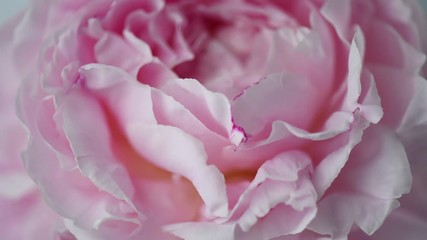 Fotoväggar - Blooming pink peony background. Beautiful peony flower opening timelapse. 3840X2160 4K UHD video footage
