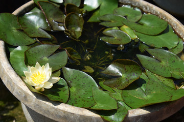 miniature water lily in the bowl / 手水鉢で育てるミニ睡蓮の花(ミニ盆栽)