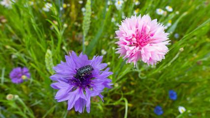 fiordalisi colorati prato di fiori selvatici di stagione sfondo floreale