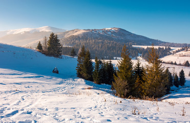 spruce trees on snowy hillside. beautiful frosty day. borzhva mountain ridge in the distance. lovely Carpathian scenery
