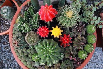 Fototapeten Pistazie Top view cactus garden ,center focus.