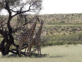 South African Giraffe Wedding Dances, Giraffa camelopardalis giraffa, Kalahari, South Africa