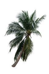 Isolate coconut tree on white background.