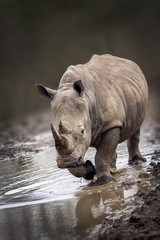 Rhinoceros portait with a slight front view angle
