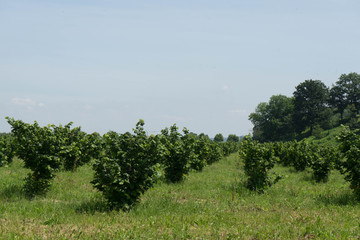 Field of young hazelnuts near Alba, Piedmont - Italy