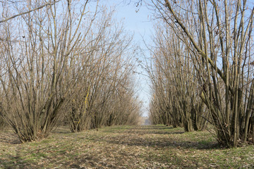 A cultivation of hazelnuts during the winter