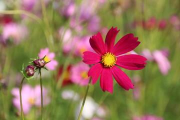 Cosmos flower in the garden