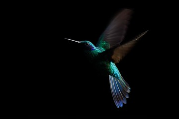 Hummingbird, sparkling violetear (Colibri coruscans) in flight. Low-key bird portrait. Bird in flight. Low light. Hovering, black background, Colombia