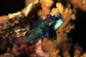 Mating Mandarinfish (aka Mandarin Dragonet, Synchiropus splendidus). Moalboal, Philippines
