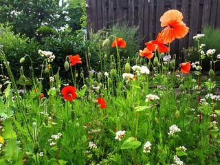 Bienenweide im Garten mit Mohn, Beinwell und Buchweizen, Futter für die Bienen
