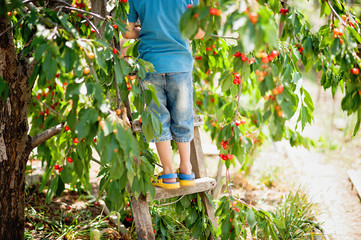 Child pics a cherry from the tree. healthy childhood, vacations in the village