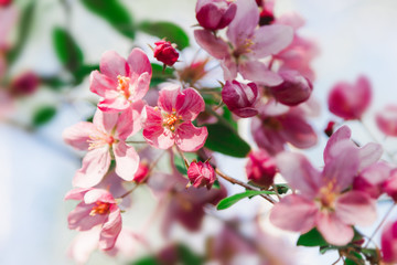 Pink flowers blossom on tree. Nature floral pastel  background
