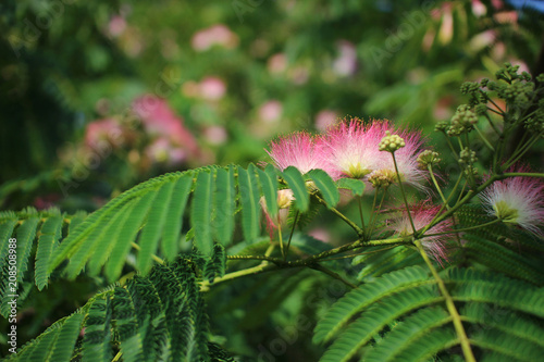 Image of cute fluffy blooming pink flower albizia julibrissin image of cute fluffy blooming pink flower albizia julibrissin persian silk tree pink mightylinksfo