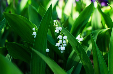 Foto op Textielframe Lelietje van dalen Lily of the valley, beauty, Wallpaper, background