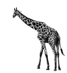 giraffe in full growth goes sideways, sketch vector graphics monochrome illustration