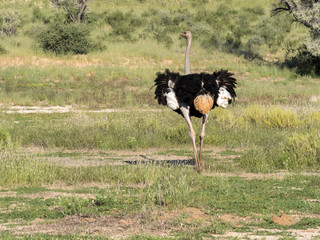 Adult male Ostrich, Struthio camelus, in the grass of Kalahari, South Africa