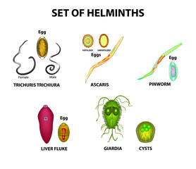 Set of helminths and their eggs. Worms. Hepatic fluke, hepatic trematode, ascaris, pinworm, lamblia, cyst of lamblia. Trichuris trichiura. Infographics. Vector illustration on isolated background.