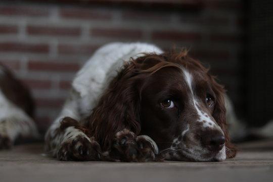 springer spaniel dog brown white