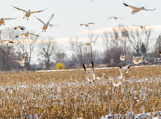 Geese come in for a landing over a field of corn