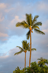Two palm trees lit by the beautiful warm late afternoon light with blue sky and white clouds in the background, Hawaii
